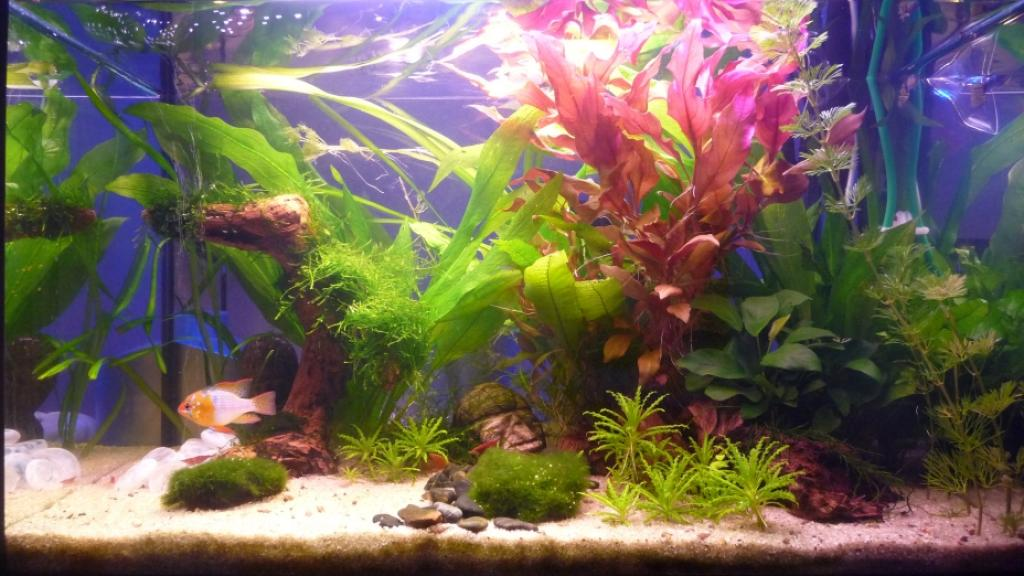 Plante rouge pour redonner de la couleur association for Aquarium rouge