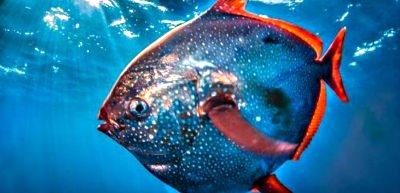 http://www.aquariophilie.org/images/Lampris-guttatus.jpg