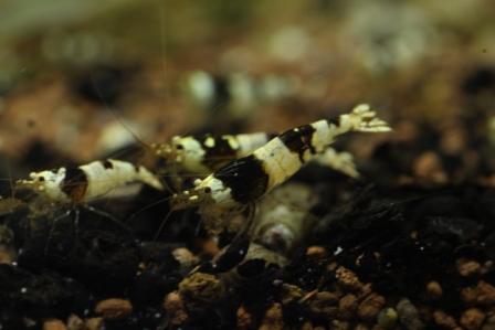 photo http://www.aquariophilie.org/images/article/Elevage-de-crevettes-dulcicole-par-un-amateur_a07262124_3.jpeg