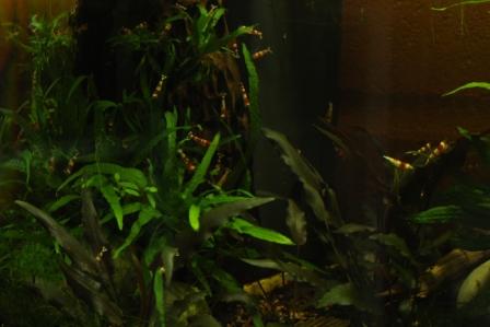 photo http://www.aquariophilie.org/images/article/Elevage-de-crevettes-dulcicoles-par-un-amateur_a08121417_3.jpeg