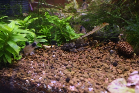 photo http://www.aquariophilie.org/images/article/Elevage-de-crevettes-dulcicoles-par-un-amateur_a08121417_4.jpeg