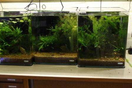 photo http://www.aquariophilie.org/images/article/Elevage-de-crevettes-dulcicoles-par-un-amateur_a08121417_8.jpeg