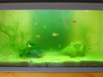 photo http://www.aquariophilie.org/images/article/Identification-et-lutte-contre-les-algues_b11291414_3.png