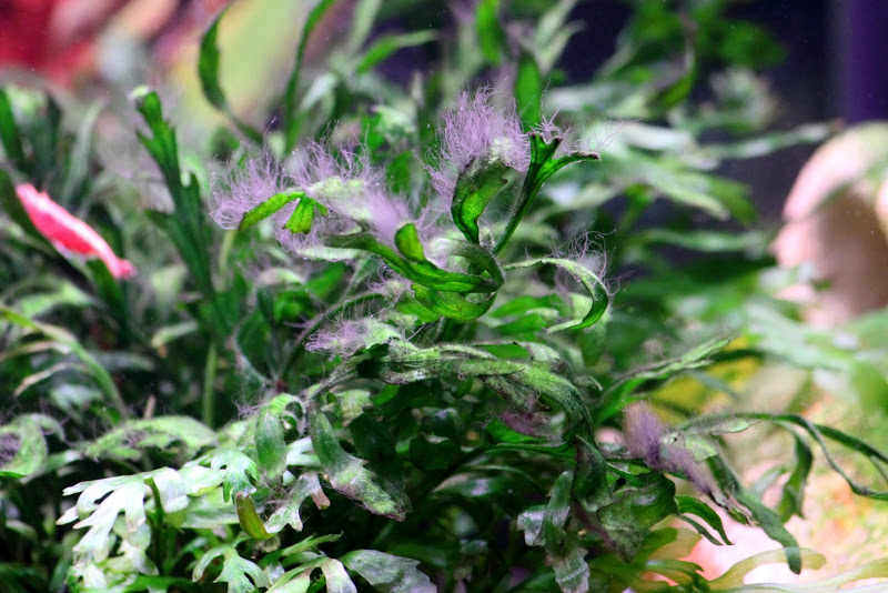 photo http://www.aquariophilie.org/images/article/Identification-et-lutte-contre-les-algues_b11291552_6.jpeg