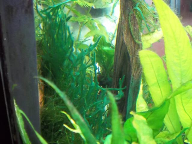 photo http://www.aquariophilie.org/images/article/Identification-et-lutte-contre-les-algues_b11300958_16.jpeg