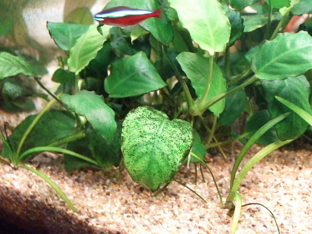 photo http://www.aquariophilie.org/images/article/Identification-et-lutte-contre-les-algues_b11301024_12.jpeg