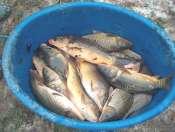 photo http://www.aquariophilie.org/images/article/Journal_d_une_peche_d_un_petit_etang_ou_l_entretien_d_un_bac_peu_ordinaire_a12162242_22.jpeg