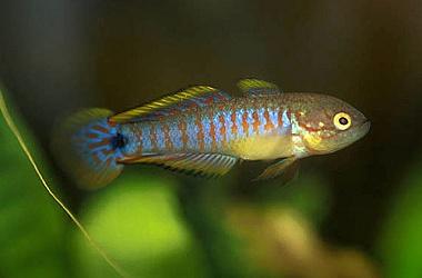 Quels types de poissons pour notre eau girondine for Site aquariophilie