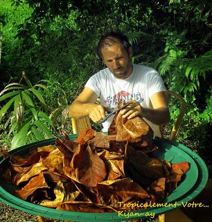 photo http://www.aquariophilie.org/images/article/La-Catappa-De-l-Arbre-a-l-Aquariophile-_a10241601_12.jpeg