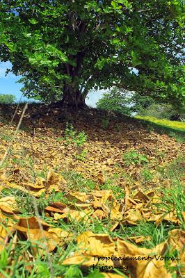 photo http://www.aquariophilie.org/images/article/La-Catappa-De-l-Arbre-a-l-Aquariophile-_a10241601_3.jpeg