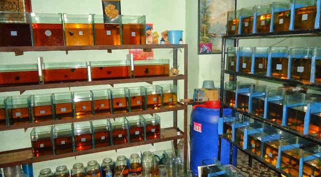 photo http://www.aquariophilie.org/images/article/La-Catappa-De-l-Arbre-a-l-Aquariophile-_a10241601_5.jpeg