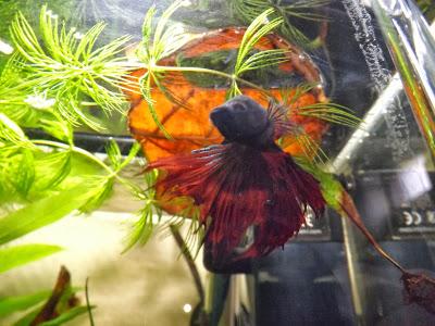photo http://www.aquariophilie.org/images/article/La-Catappa-De-l-Arbre-a-l-Aquariophile-_a10241601_7.jpeg