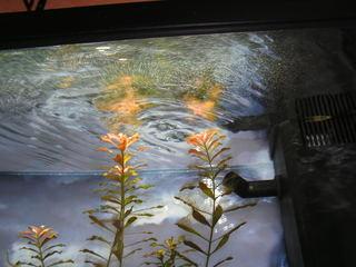 photo http://www.aquariophilie.org/images/article/Le_cyclage_d_un_bac_neuf_avec_l_aide_des_bacteries_par_l_atelier_de_l_Association_Aquariophilie_org_a01171740_11.jpeg