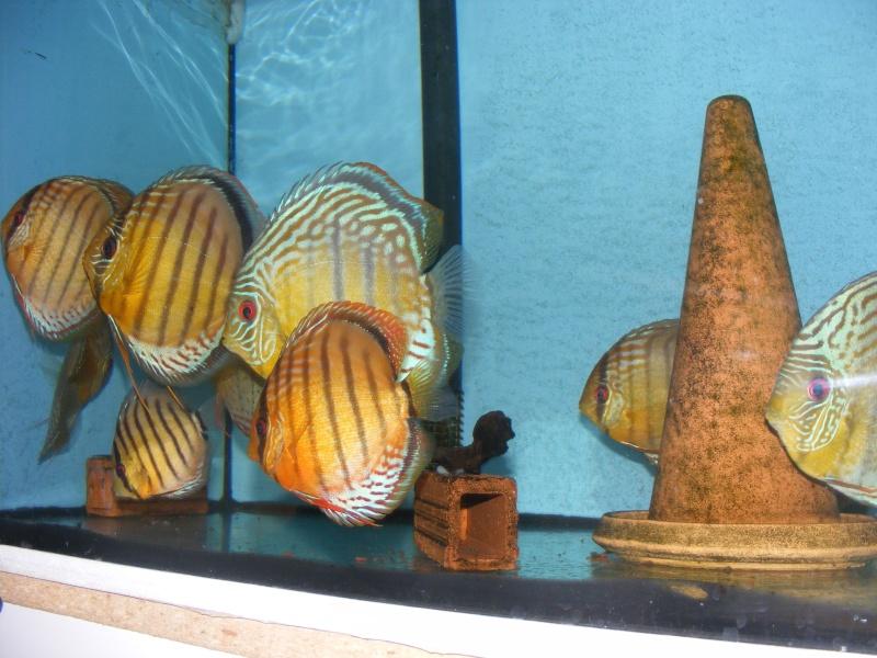photo http://www.aquariophilie.org/images/article/Les-Discus-sauvages-deuxieme-partie-la-maintenance_a07302041_1.jpeg