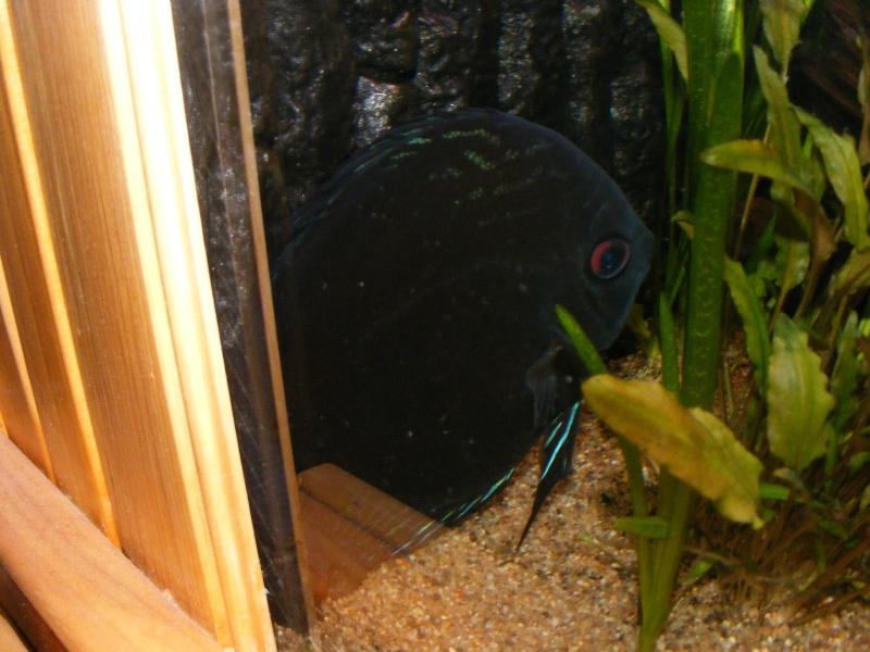 photo http://www.aquariophilie.org/images/article/Les-Discus-sauvages-deuxieme-partie-la-maintenance_a08010705_5.jpeg