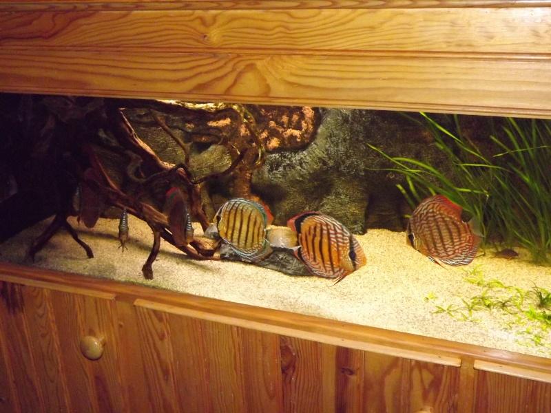 photo http://www.aquariophilie.org/images/article/Les-Discus-sauvages-deuxieme-partie-la-maintenance_a08011919_7.jpeg