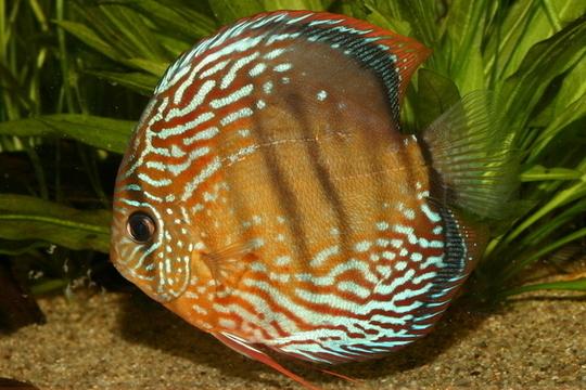 photo http://www.aquariophilie.org/images/article/Les_Discus_sauvages_origine_et_maintenance_a04170653_0.jpeg