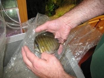 photo http://www.aquariophilie.org/images/article/Les_Discus_sauvages_origine_et_maintenance_a04180733_8.jpeg