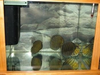 photo http://www.aquariophilie.org/images/article/Les_Discus_sauvages_origine_et_maintenance_a04180751_9.jpeg