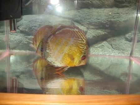 photo http://www.aquariophilie.org/images/article/Les_Discus_sauvages_origine_et_maintenance_a04190448_4.jpeg