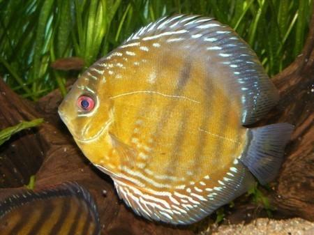 photo http://www.aquariophilie.org/images/article/Les_Discus_sauvages_premiere_partie_classification_origine_et_acclimatation_a04191817_5.jpeg