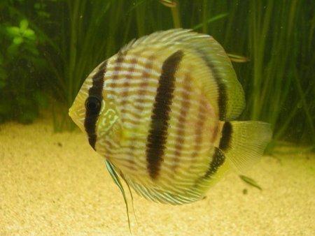 photo http://www.aquariophilie.org/images/article/Maintenance_de_Discus_d_origine_sauvage_a04160414_0.jpeg