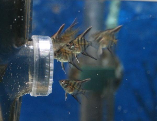 photo http://www.aquariophilie.org/images/article/Maintenance_et_elevage_de_Pterophyllum_scalare_a04231613_2.jpeg