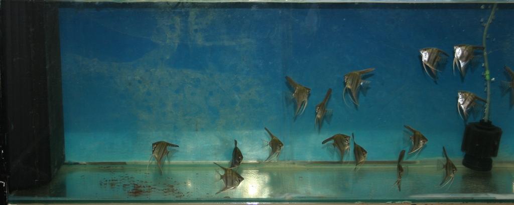 photo http://www.aquariophilie.org/images/article/Maintenance_et_elevage_de_Pterophyllum_scalare_a04231621_3.jpeg
