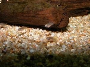 photo http://www.aquariophilie.org/images/article/Maintenance_et_reproduction_d_Apistogramma_baenschi_a04120809_8.jpeg