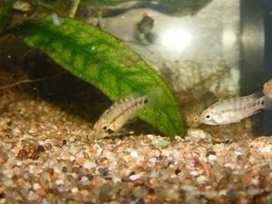 photo http://www.aquariophilie.org/images/article/Maintenance_et_reproduction_d_Apistogramma_baenschi_a04121005_16.jpeg