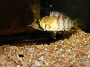 photo http://www.aquariophilie.org/images/article/Maintenance_et_reproduction_d_Apistogramma_baenshi_a04111741_0.jpeg