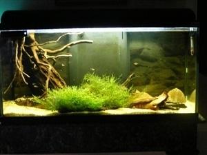 photo http://www.aquariophilie.org/images/article/Maintenance_et_reproduction_d_Apistogramma_baenshi_a04120406_2.jpeg