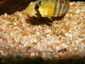 photo http://www.aquariophilie.org/images/article/Maintenance_et_reproduction_d_Apistogramma_baenshi_a04120514_4.jpeg