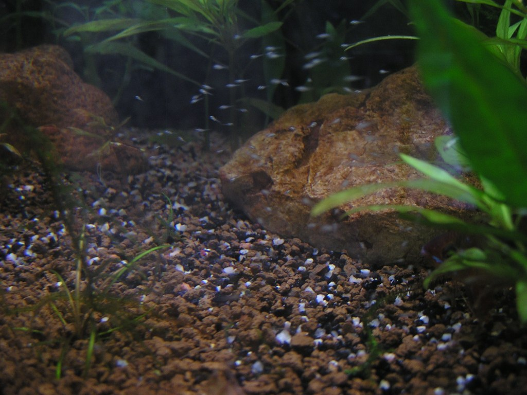 photo http://www.aquariophilie.org/images/article/Mikrogeophagus-ramirezi-reproduction-en-image_a04012224_0.jpeg