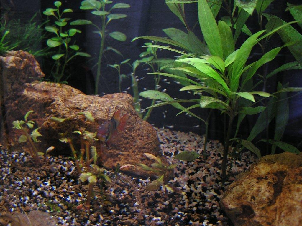 photo http://www.aquariophilie.org/images/article/Mikrogeophagus-ramirezi-reproduction-en-image_a04012225_0.jpeg