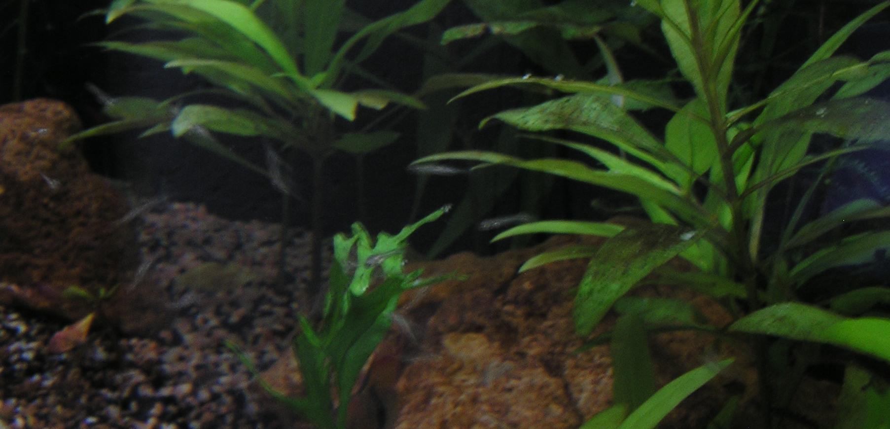 photo http://www.aquariophilie.org/images/article/Mikrogeophagus-ramirezi-reproduction-en-image_a04041006_0.jpeg