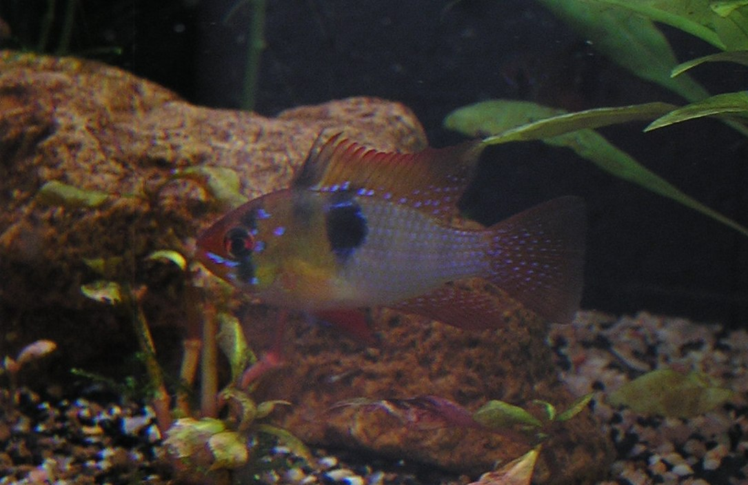 photo http://www.aquariophilie.org/images/article/Mikrogeophagus-ramirezi-reproduction-en-image_a04041011_0.jpeg