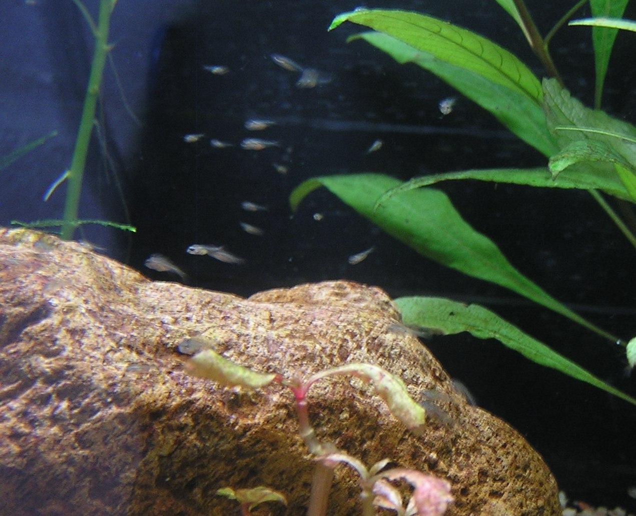 photo http://www.aquariophilie.org/images/article/Mikrogeophagus-ramirezi-reproduction-et-aleas-en-image_a04100957_0.jpeg