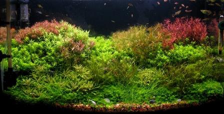 photo http://www.aquariophilie.org/images/article/Mise_en_route_et_evolution_d_un_bac_plante_a04272104_11.jpeg
