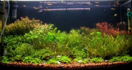 photo http://www.aquariophilie.org/images/article/Mise_en_route_et_evolution_d_un_bac_plante_a04272111_10.jpeg