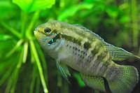 http://www.aquariophilie.org/images/mini_Laetacara-araguaiae.jpg