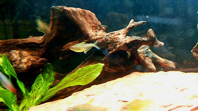 Algues pinceaux sur racine nettoyage au fer souder for Racine aquarium