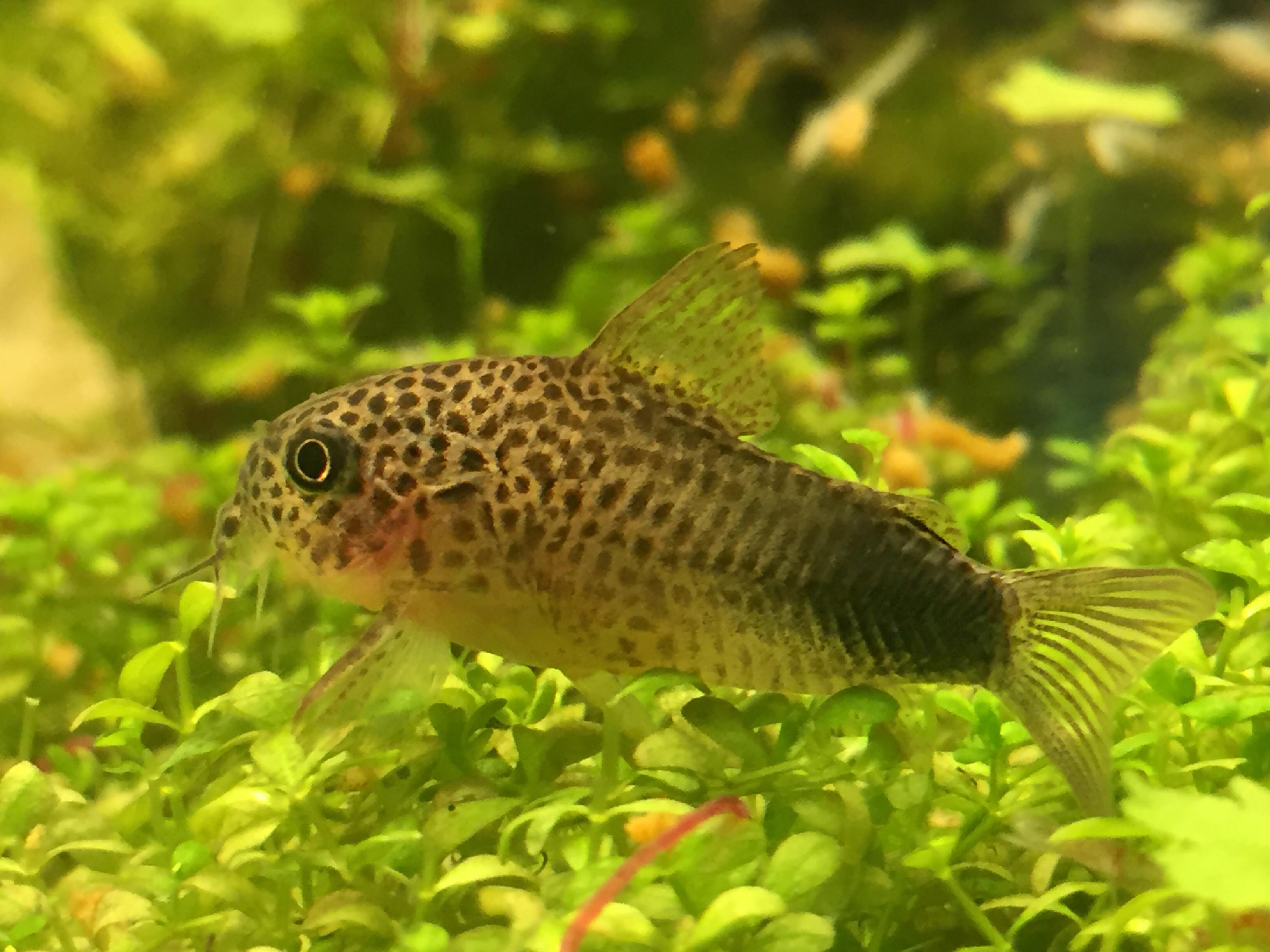 Corydoras Simulatus : Base de donnees especes poissons crevettes et mollusques eau douce ...