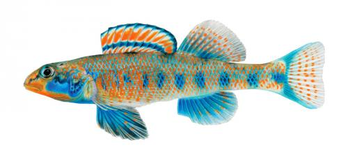 Etheostoma obama par Association Aquariophilie.org