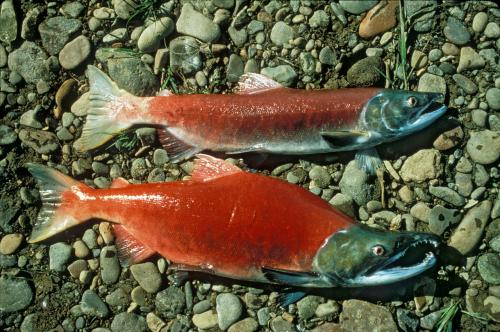 Oncorhynchus nerka par National Digital Library of the United States Fish and Wildlife Service