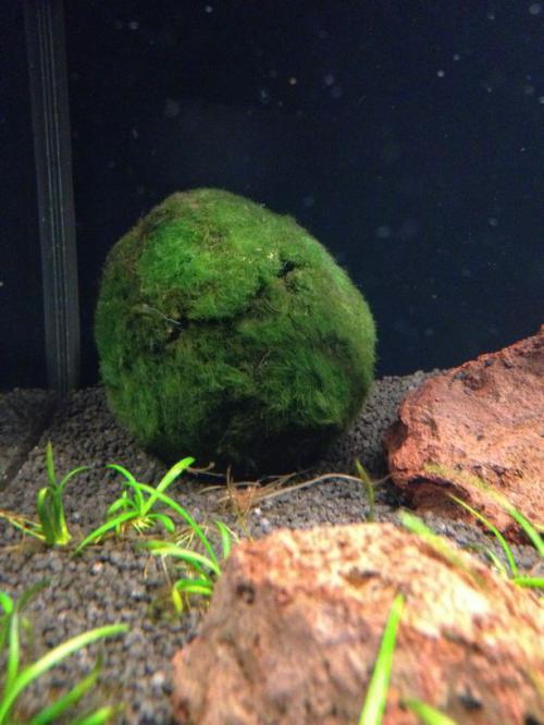 Aegagropila linnaei fiches plantes for Mini aquarium boule