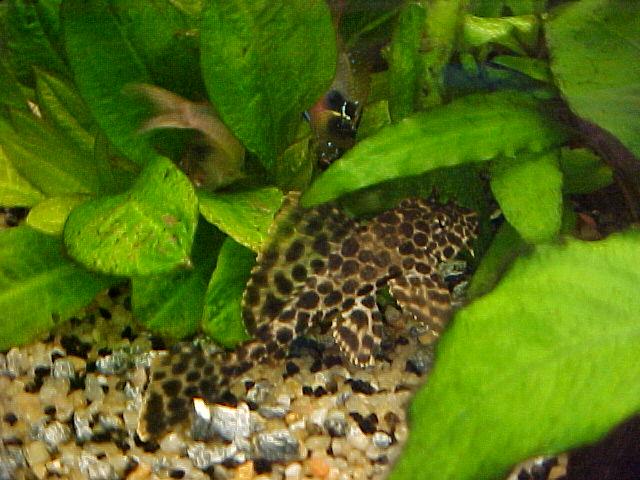 Glyptoperichthys Gibbiceps - Pléco Royal