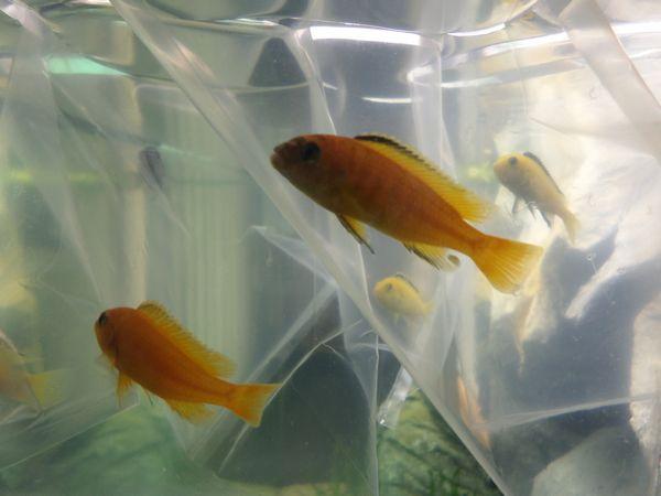 photo https://www.aquariophilie.org/images/article/Acheter-des-Cichlides-sur-Internet_a08272001_5.jpeg