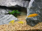 photo https://www.aquariophilie.org/images/article/Acheter-des-Cichlides-sur-Internet_a08272001_6.jpeg