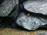 photo https://www.aquariophilie.org/images/article/Acheter-des-Cichlides-sur-Internet_a08272001_8.jpeg